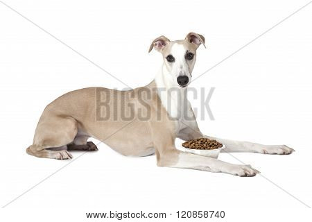 Whippet Dog With A Bowl Of Dog Food