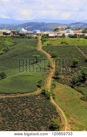 Tea tree in row, line, beautiful tea plantation, wonderful country view for Da Lat travel