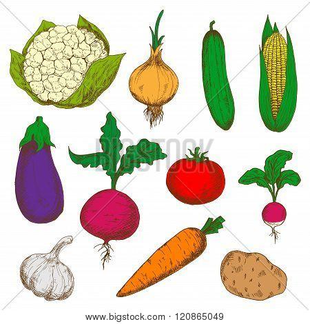 Color ripe vegetables sketches set
