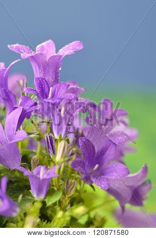 Spring Flower Bush Dalmatian Bellflower
