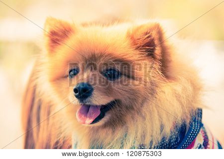 Brown Fur Pomeranian Dog With Tongue Smiling Hold By Unknown Owner Closeup