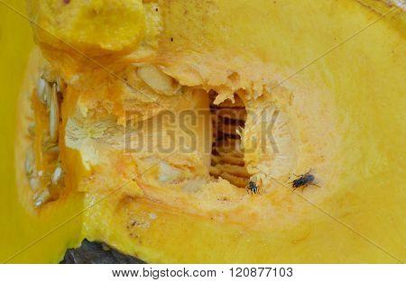 fly feeding pumpkin
