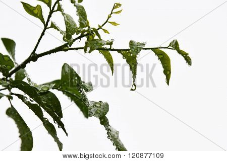 drop of water on orange Jessamine leaf after raining