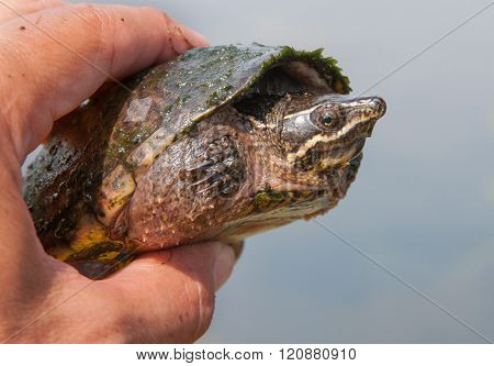 Musk Turtle In Hand