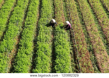 Dalat, Vietnam, February 3, 2016: Farmer working on vegetable filed
