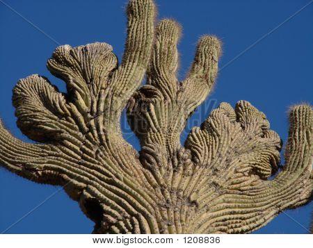 Twisted Saguaro