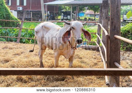 A Cow In Farm With Rim Light