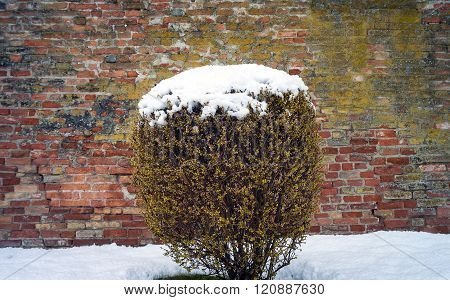Bush with snow. Color image