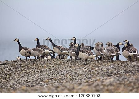 Geese Creche In The Arctic