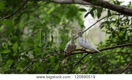 White Pigeon Couple
