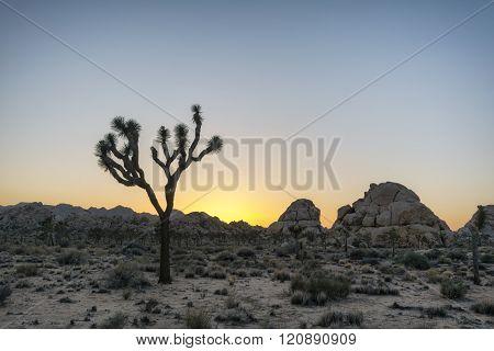Joshua Trees In The Desert
