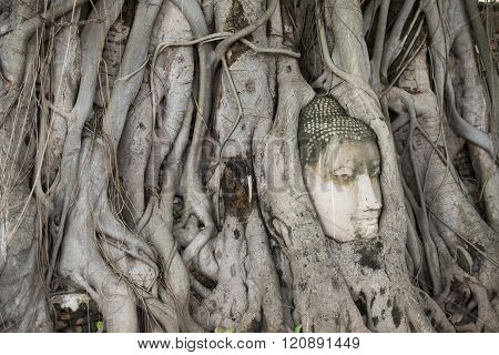 the stone head at the Wat Phra Mahathat in the city of Ayutthaya north of bangkok in Thailand in southeastasia.