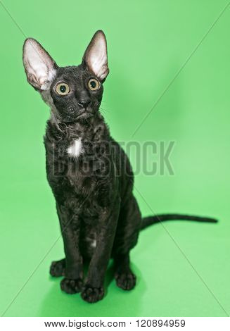 Black Cat Cornish Rex