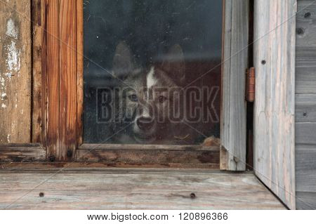 Gray Siberian Laika Barks From Barn Window