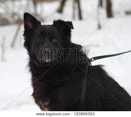 Black Fluffy Mongrel Dog Sitting On Snow