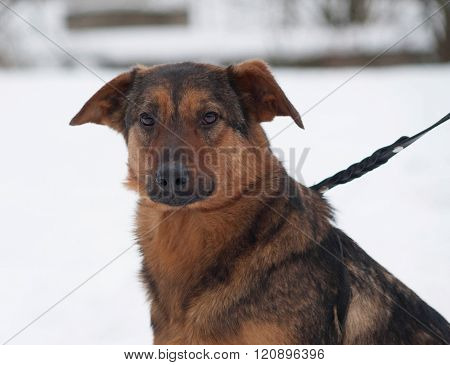Red Mongrel Dog Sitting On Snow