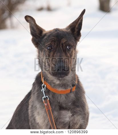 Grey And Brown Young Mongrel Dog Sitting On Snow