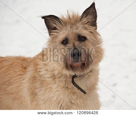 Red mongrel shaggy dog standing in white snow