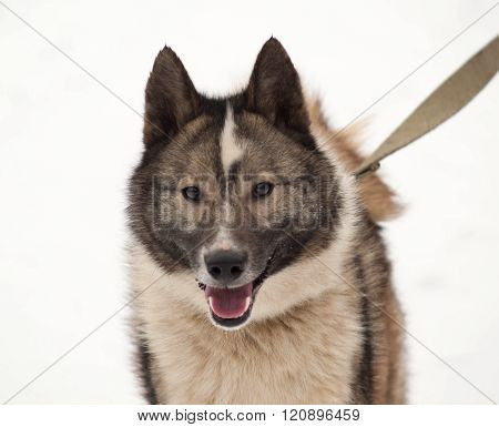 Grey Siberian Laika Standing On Snow