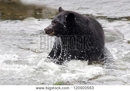 Action shot of Black Bear in river,Vancouver Island, Canada