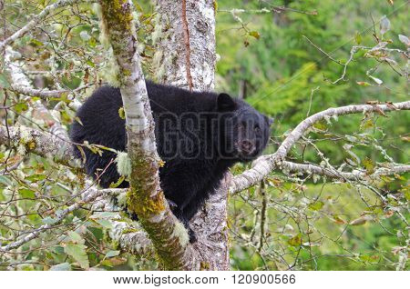 Black Bear sitting in a Rainforest Tree, Vanouver Island, Canada