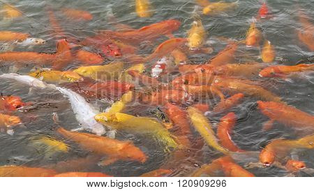 High Angle View Fishpond With Koi Fishes