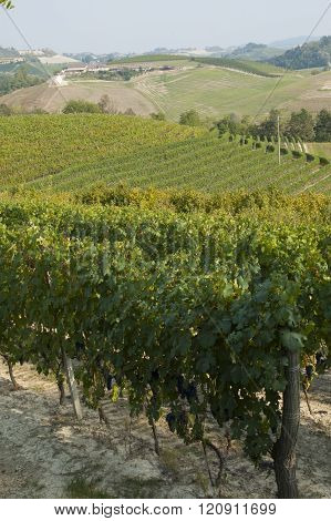 Langhe vineyard