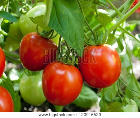 red tomatoes grow on twigs. Ripening organic tomatoes on a vegetable bed into the garden. Bio product.