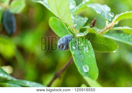 branch of honeysuckle with ripe berry in garden