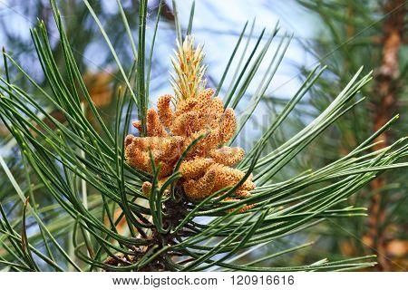 Pinus Mugo Closeup