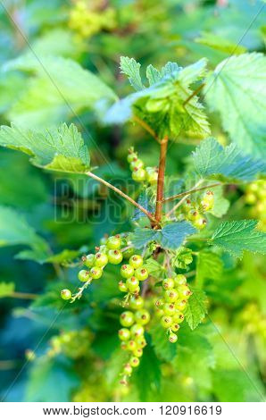 Fresh Unripe Red Currant Berries On The Branch, Summer