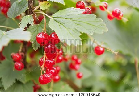 Red Currant Berries On A Bush Closeup