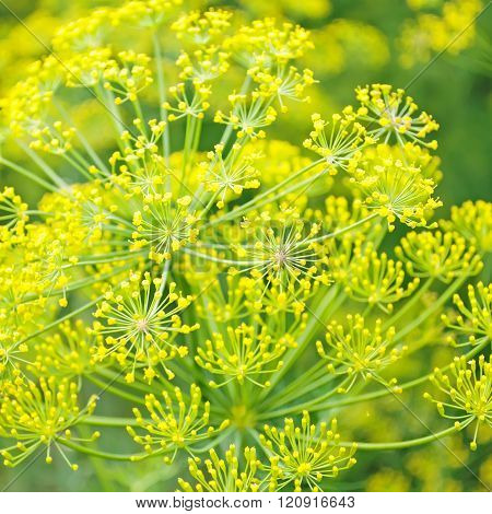 dill in kitchen garden. flowers of dill