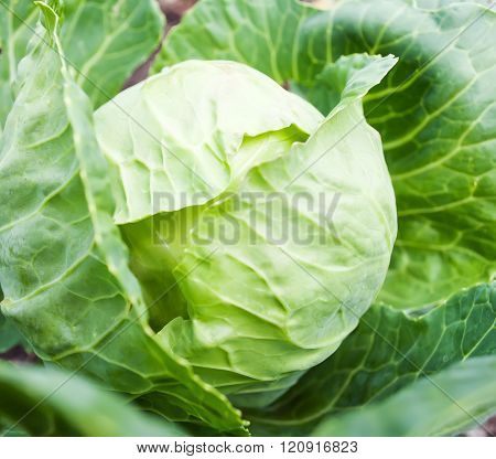Cabbage Head Growing On The Vegetable Bed