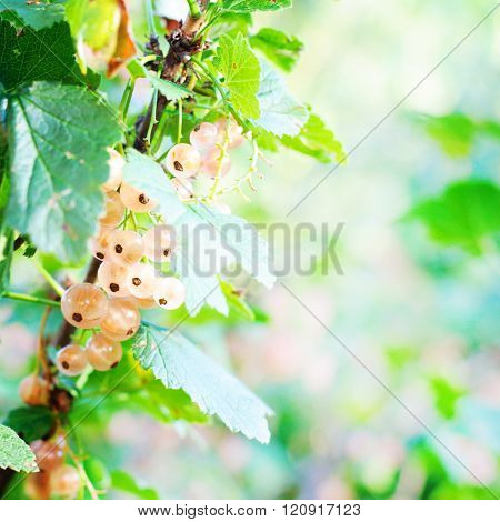 Red Currant. Ripe And Fresh Organic Redcurrant Berries Growing In The Garden