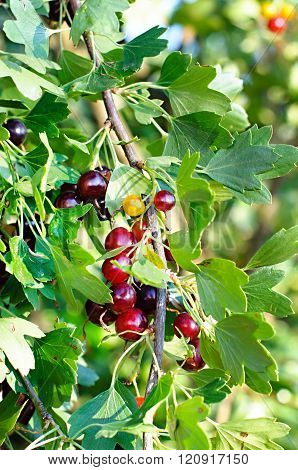 The Jostaberry (lat. Ribes X Nidigrolaria) Is A Cross Fruit Bush Involving The Black Currant, The No