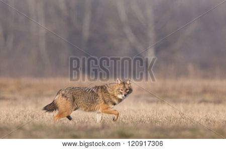 Golden Jackal Walking On Meadow