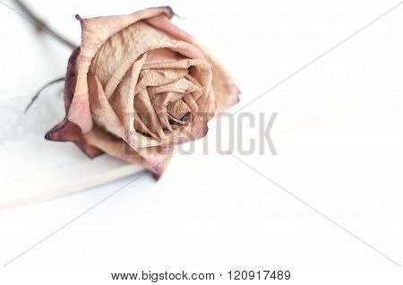 Fading rose. Dead rose. Roses frame. One withered rose isolated on white background