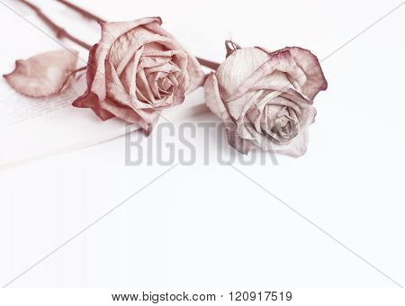 Dead rose on pink toned photo. Roses frame. Two withered roses isolated on white background