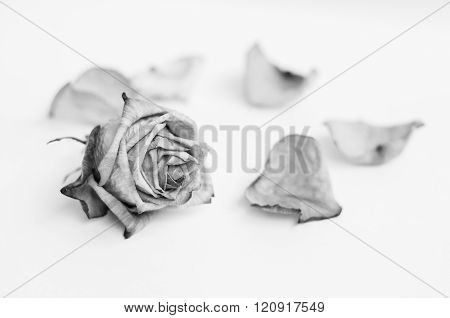 Fading rose. Dead rose. Roses frame. Black and white photography