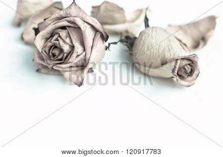 Withered Rose. dried beautiful rose flowers