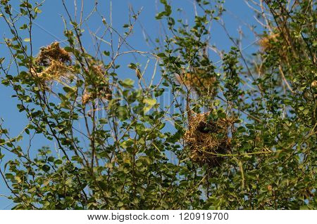 Bird nest .
