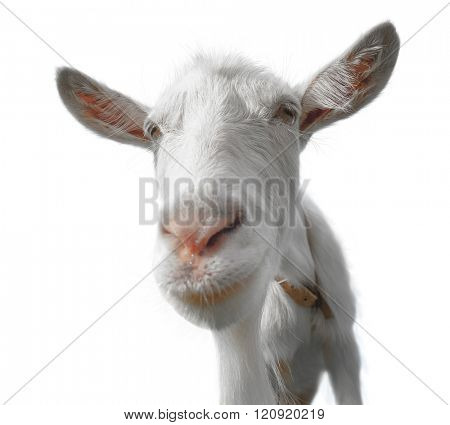 Young goat isolated on the white background. Transparent PNG file is available