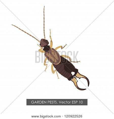 Detailed Drawing Earwig On A White Background