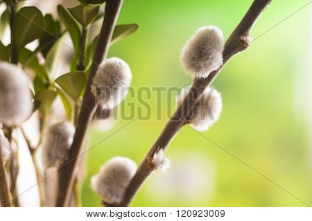 Pussy-willow branches with catkins