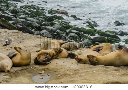 Sea Lions Grouped And Sleeping On Rocks