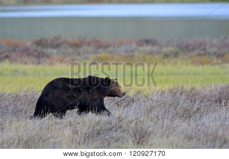 Grizzly Bear Male, Yellowstone National Park