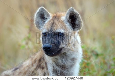 Spotted Hyena Baby close up Head Shot, South Africa