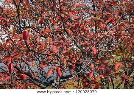 Leaves of a Serviceberry Bush in Autumn
