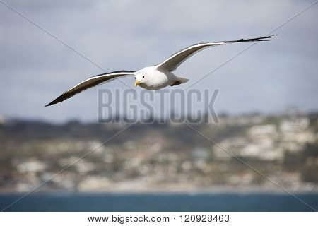 Flying Sea Gull With Spanned Wings